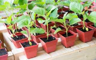 Температура рассады баклажан: при какой выращивать и высаживать