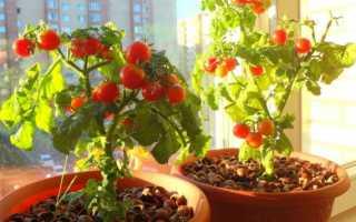 Помидоры на балконе: выращивание пошагово + фото