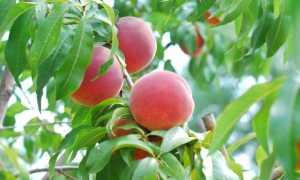 Персик: фото дерева, цветов, описание, как выглядит, где растут в России, сезон сбора урожая, как дозреть персики