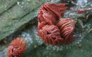 Стемонитис: где растет, как выглядит, можно ли есть, описание и фото