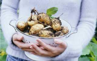 Картофель Белая роза: описание сорта, фото, отзывы