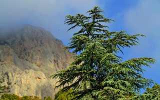 Кедр гималайский (деодар): описание, посадка, выращивание, фото