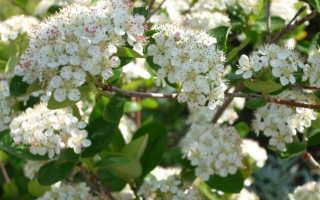 Как цветет рябина весной: обыкновенная, черноплодная, почему не цветет