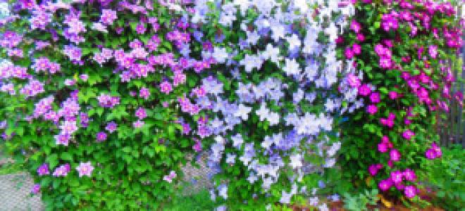 Подкормка клематисов весной
