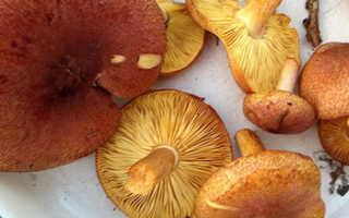 Рядовка желто-бурая: фото, описание гриба, как готовить