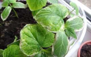 Почему сохнут листья у огурцов в теплице