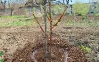 Посадка вишни весной саженцами в открытый грунт: особенности, подготовка почвы, видео