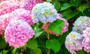 Пересадка гортензии весной на другое место: метельчатой и древовидной, сроки, видео