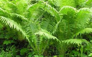 Какой папоротник растет в лесу: дикий, лесной, фото, лечебные свойства