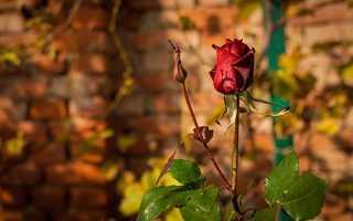 Садовые розы осенью