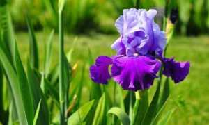 Как размножаются ирисы: делением куста, семенами