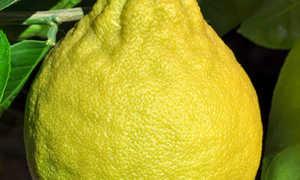 Лимон Юбилейный: описание сорта, посадка и уход в домашних условиях