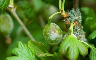 Чем обработать крыжовник от мучнистой росы весной: фото, как обработать, чем опрыскать, как спасти и вылечить