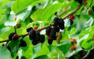 Тутовник сушеный: полезные свойства и противопоказания, рецепты