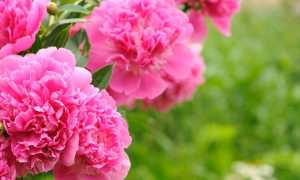Красные пионы: фото, сорта ранние, махровые, красивые, с темными, белыми оттенками цветов