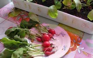 Редис на подоконнике (на балконе) зимой: для начинающих, в домашних условиях, как сеять, как выращивать