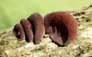 Аурикулярия уховидная (Иудино ухо): где растет, как выглядит, съедобность