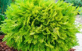 Кипарисовик: уход в саду, посадка, размножение, укрытие на зиму