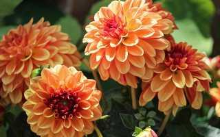 Георгины крупноцветковые: сорта + фото