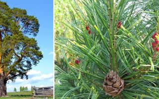 Сосна обыкновенная: как выглядит, где растет, посадка и уход