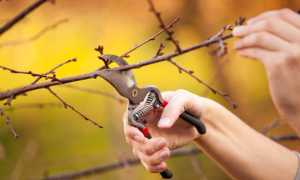 Обрезка вишни осенью для начинающих в картинках, видео, как обрезать кустовую, войлочную, молодую, старую вишню, пошаговое руководство