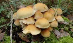Коллибия водолюбивая (гимнопус водолюбивый, Gymnopus aquosus): как выглядят грибы, где и как растут, съедобны или нет