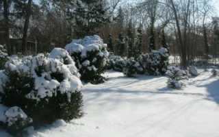 Самшит: уход осенью, зимостойкойсть, подготовка к зиме, как укрывать