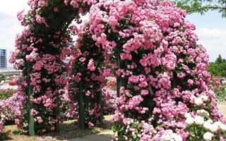 Вьющиеся розы: фото и названия