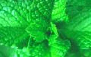 Мята водная (водяная, Mentha aquatica): посадка и уход, особенности выращивания, применение