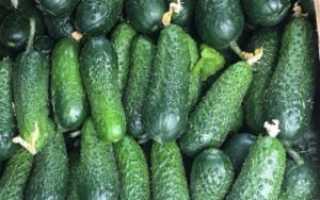 Огурцы Мадрилене F1: отзывы, описание с фото, урожайность