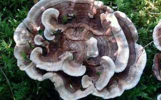 Феллодон сросшийся (Ежовик сросшийся, Phellodon connatus): как выглядят грибы, где и как растут, съедобны или нет
