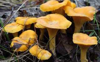 Лисичка желтеющая: описание, фото, вкусовые качества, где растет и как выглядит