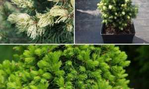 Ель канадская Рэйнбоуз Энд (Picea glauca Rainbow's Еnd): описание, фото, отзывы