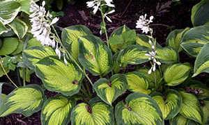 Хоста гибридная (Hosta hybride): сорта с фото, названием и описанием, посадка и уход