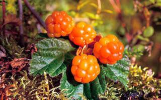 Морошка: полезные свойства и противопоказания ягод, листьев, чашелистиков