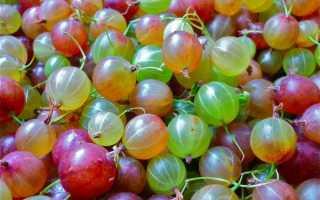 Крыжовник: польза и вред, калорийность, слабит или крепит, полезные свойства и противопоказания ягод, листьев, веточек