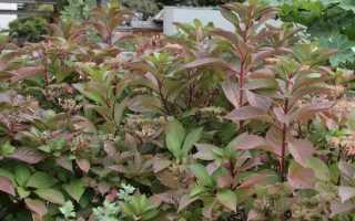 Листья гортензии: почему краснеют у метельчатой и крупнолистной, причины, что делать