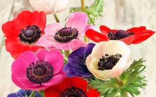 Анемоны: посадка в открытый грунт, выращивание, уход, лучшие сорта