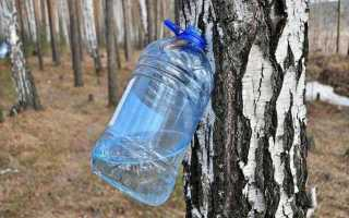 Как собирать березовый сок: время сбора, как правильно собрать без вреда для дерева, приспособления
