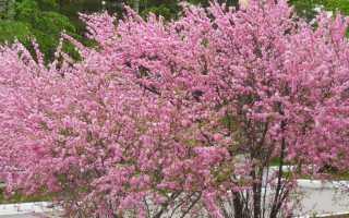 Как растет миндаль, как выглядит дерево, как цветет