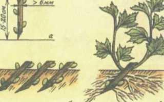 Размножение черной смородины черенками осенью