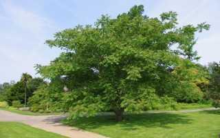 Орех маньчжурский: лечебные свойства, польза и вред, как есть