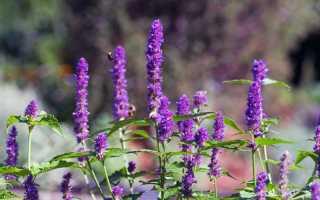 Горная мята: посадка и уход, особенности выращивания, применение