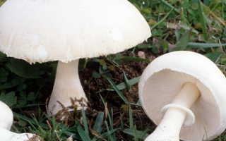 Вольвариелла: фото и описание гриба, съедобный или нет