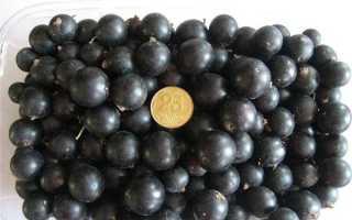 Лучшие сорта смородины для Урала: черной, красной, белой