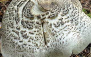 Рядовка тигровая: описание, где растет, как определить, съедобность, фото