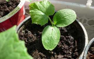 Как высевать огурцы на рассаду