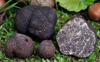 Черный трюфель: где растет в России, как выглядит, на что похож вкус, как едят, выращивание