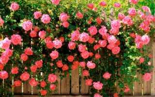 Розы садовые: уход и выращивание