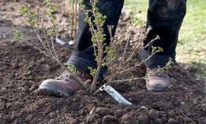 Посадка крыжовника летом (весной) в открытый грунт: как правильно посадить саженцы, правила выращивания, рядом с